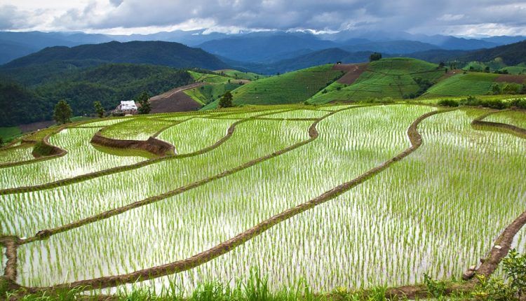 risovye polya Tailanda